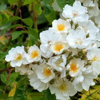 Rosa Bobbie James (crémewitte ramblerroos, Ramblerrose, Rambling Roses)