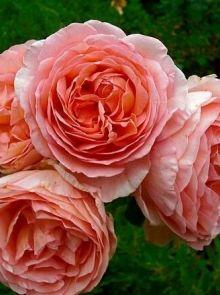 Rosa Abraham Darby stamroos 90-100 cm (pastelroze roos op stam, Stammrose, Standard rose)
