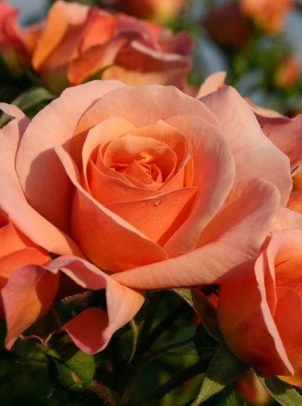 Rosa Aprikola stamroos 80-90 cm (abrikoosgele roos op stam, Stammrose, Standard rose)