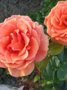 Rosa Ashram stamroos 80-90 cm (koper-oranje kleurige roos op stam, Stammrose, Standard rose)