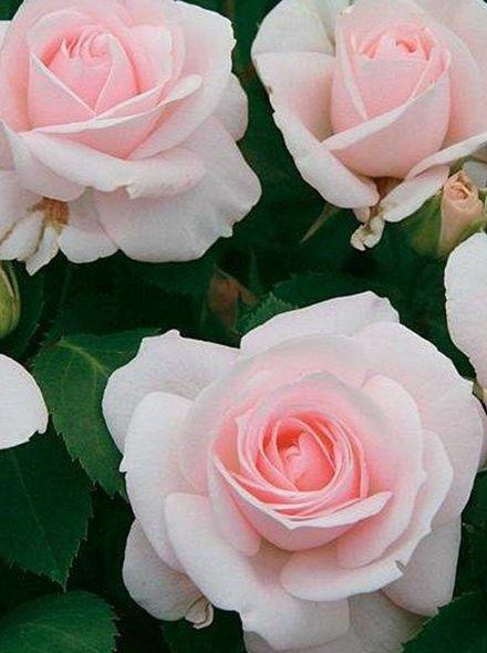 Rosa Aspirin Rose stamroos 80-90 cm (wit - witroze roos op stam, Stammrose, Standard rose)