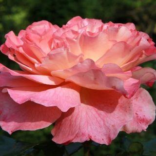 Rosa Augusta Louise stamroos 90-100 cm (perzik - abrikoos kleurige roos op stam, Stammrose, Standaard rose)