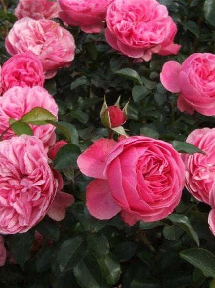 Rosa Berleburg stamroos 80-90 cm (roze roos op stam, Stammrose, Standard rose)
