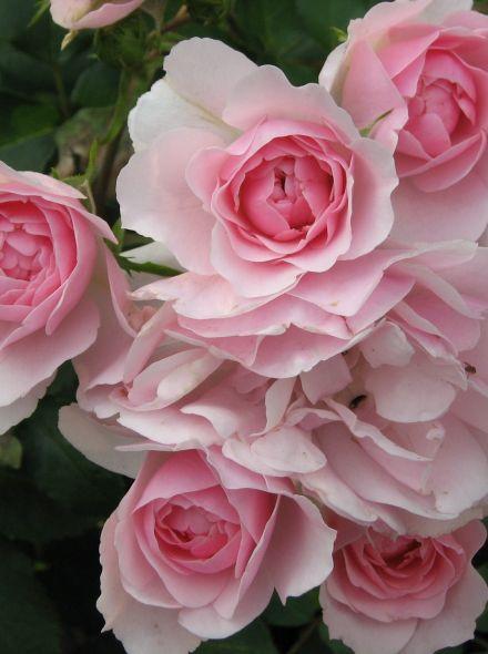 Rosa Bonica stamroos 80-90 cm (roze roos op stam, Stammrose, Standard rose)