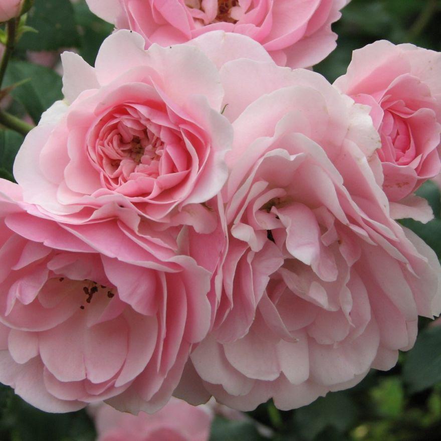 Rosa Bonica stamroos 100-120 cm (roze roos op stam, Stammrose, Standard rose)