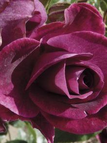Rosa Burgundy Ice stamroos 80-90 cm (paarse roos op stam, Stammrose, Standard rose)