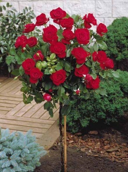 Rosa Dame de Coeur stamroos 90-100 cm (rode roos op stam, rote Stammrose, red Standard rose)