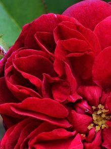 Rosa Darcey Bussel Stamroos 100-110 cm (karmozijnrode roos op stam, Stammrose, Standard rose)