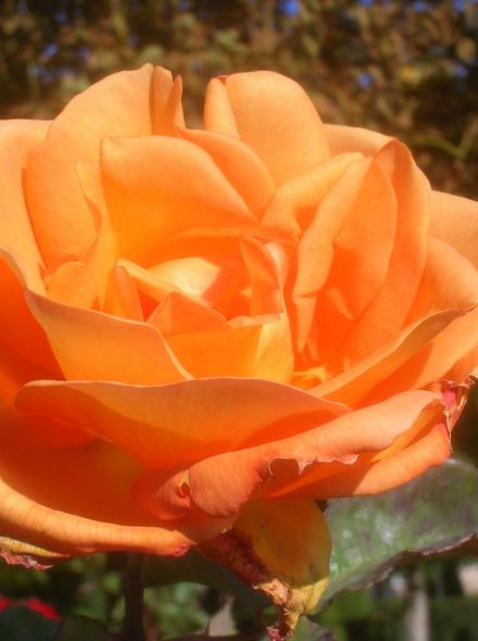 Rosa Doris Tysterman Stamroos 100-110 cm (oranje roos op stam, Stammrose, Standard rose)