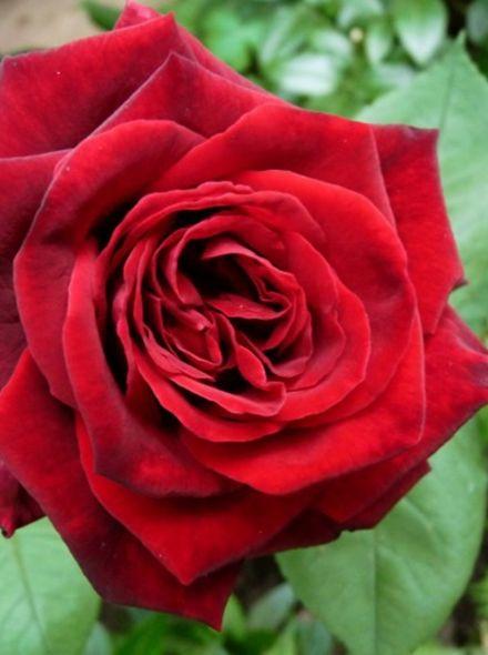Rosa Duftzauber stamroos 80-90 cm (fluweelachtige karmozijnrode roos op stam, Stammrose, Standard rose)