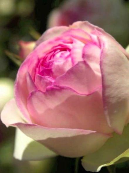 Rosa Eden Rose stamroos 100-120 cm (crémewitte roze treurroos op stam, Stammrose, Standard rose)