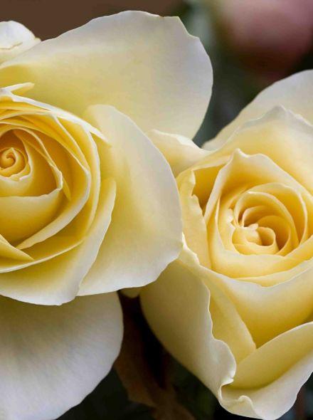 Rosa Elina stamroos 90-100 cm (lichtgele roos op stam, Stammrose, Standard rose)
