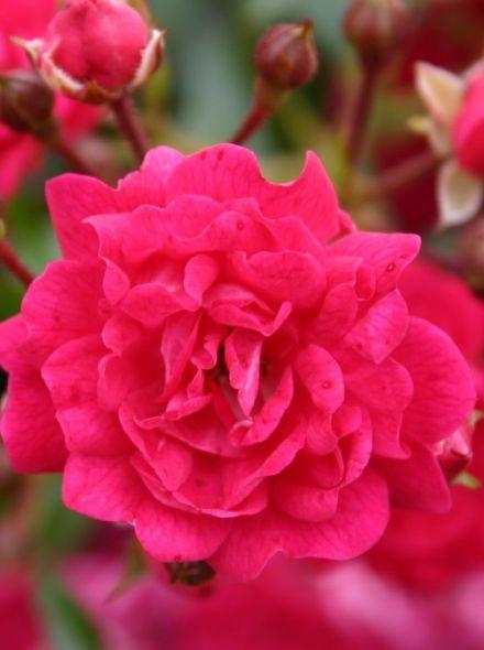 Rosa Fairy Queen Stamroos 90 cm (scharlakenrode - roze roos op stam, Stammrose, Standard rose)