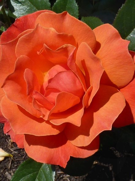 Rosa Fellowship stamroos 90-100 cm (abrikoosoranje roos op stam, Stammrose, Standard rose)