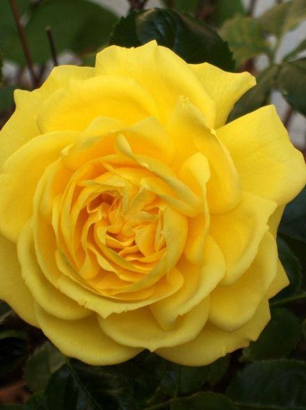 Rosa Friesia stamroos 80-90 cm (warmgele roos op stam, Stammrose, Standard rose)
