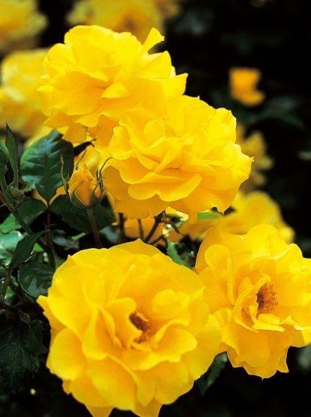 Rosa Friesia stamroos 100-110 cm (gele roos op stam, Gelber Stammrose, Yellow Standard rose)