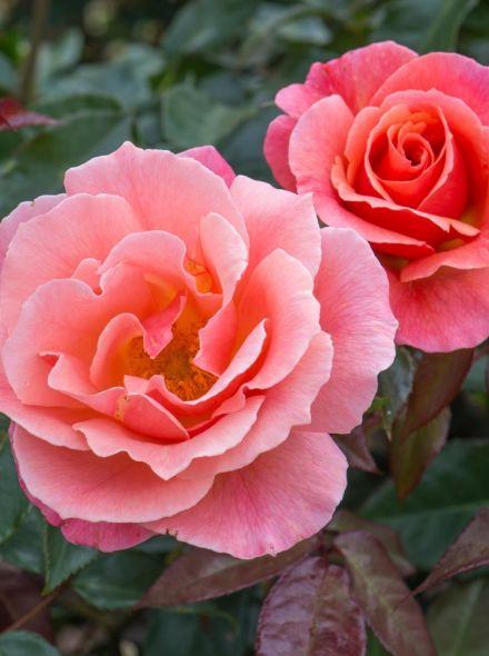 Rosa Fragrant Delight Stamroos 90 cm (Koperkleurig-oranjeroze roos op stam, Stammrose, Standard rose)