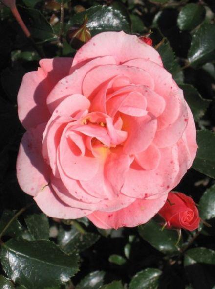 Rosa Fredensborg stamroos 80-90 cm (Zalm- tot koraalroze roos op stam, rosa Stammrose, Pink Standard rose)