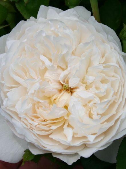 Rosa Glamis Castle stamroos 80-90 cm (zuiverwitte roos op stam, Weiße Stammrose, White standard rose)