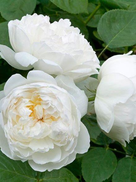 Rosa Glamis Castle stamroos 100-110 cm (zuiverwitte roos op stam Stammrose, Standard rose)