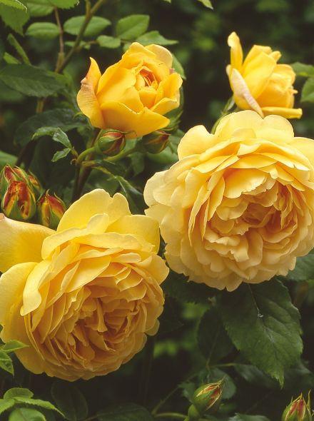 Rosa Golden Celebration stamroos 100-110 cm (goudgele roos op stam, Stammrose, standard rose)