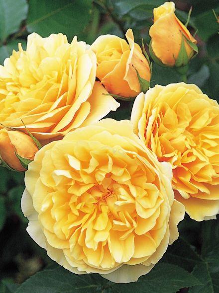 Rosa Graham Thomas stamroos 90-100 cm (warm gele roos op stam, stammrose, standard rose)