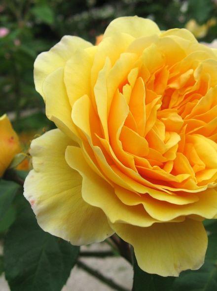 Rosa Graham Thomas stamroos 100-110 cm (gele Engelse roos op stam, stammrose, standard rose)