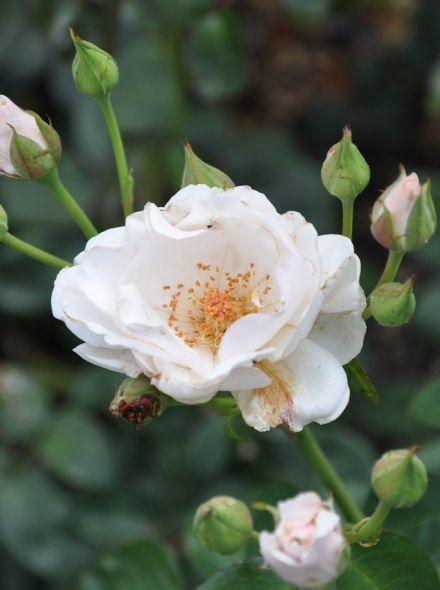 Rosa Guirlande d'Amour stamroos 90-110 cm (witte roos op stam, stammrose, standaard rose)