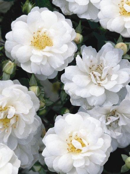 Rosa Guirlande d'Amour stamroos 140 cm (witte roos op stam, stammrose, standard rose)