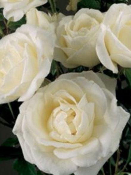 Rosa Helga Stamroos 90-100 cm (witte roos op stam, stammrose, standard rose)