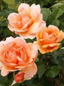Rosa Just Joey stamroos 90-100 cm (koper-oranje roos op stam, Orange stammrose, standard rose)
