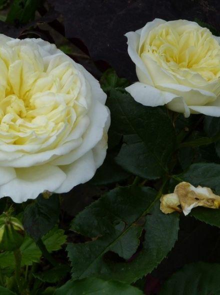 Rosa Kronprinsesse Mary stamroos 80-90 cm (ivoorwitte roos op stam, stammrose, standard rose)
