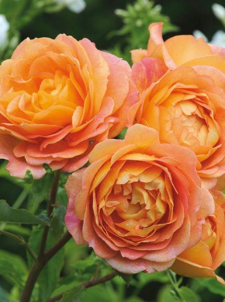 Rosa Lady of Shalott Stamroos 90-100 cm (geeloranje met roze roos op stam, stammrose, standard rose)