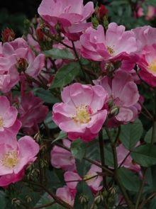 Rosa Lavender Dream stamroos 100-110 cm (lila-roze roos op stam stammrose, standard rose)