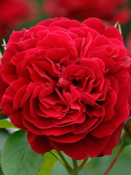 Rosa L.D Braithwaite stamroos 90-110 cm (karmozijnrode roos op stam, Rot blüht stammrose, red standard rose)