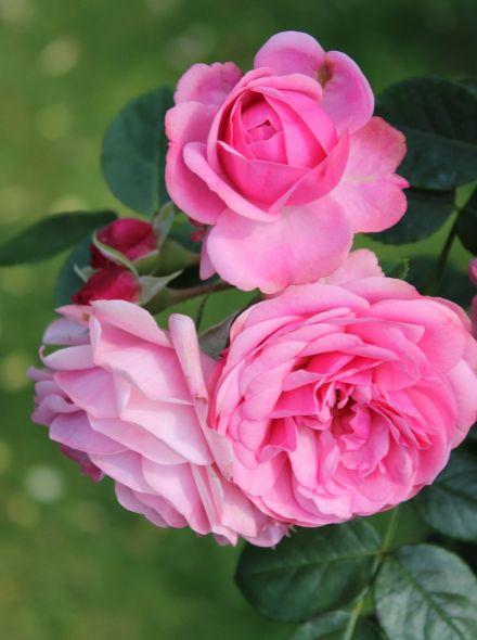 Rosa Leonardo da Vinci stamroos 90-100 cm (roze roos op stam, stammrose, standard rose)