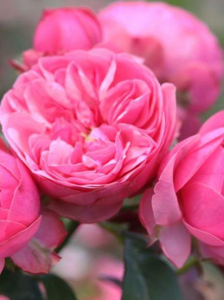 Rosa Leonardo da Vinci stamroos 100-110 cm (framboosroze roos op stam, stammrose, standard rose)