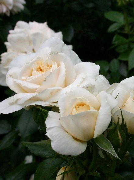 Rosa Lions Rose stamroos 80-100 cm (crémewitte roos op stam, stammrose, standard rose)