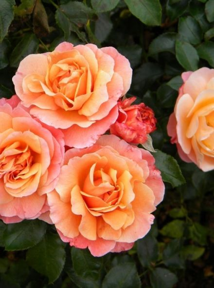 Rosa Marie Curie stamroos 80-90 cm (oranje - zalmroze roos op stam, stammrose, standard rose)