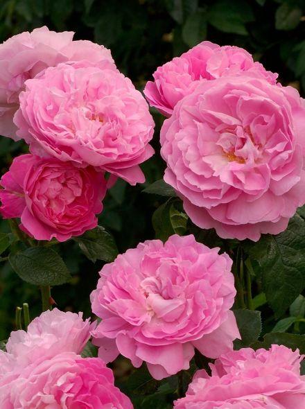 Rosa Mary Rose stamroos 90-100 cm (roze roos op stam stammrose, standard rose)