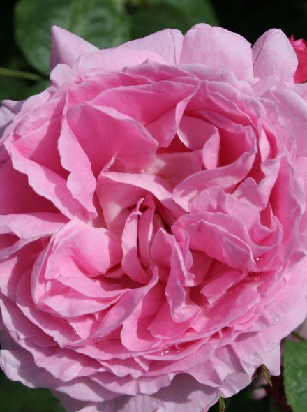 Rosa Mary Rose stamroos 100-110 cm (roze roos op stam, stammrose, standard rose)