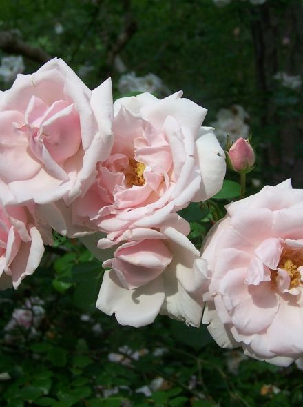 Rosa New Dawn stamroos 100-110 cm (zachtroze roos op stam, stammrose, standard rose)
