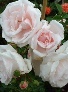 Rosa New Dawn stamroos 140 cm (zacht roze roos op stam, weich rosa stammrose, soft pink standard rose)