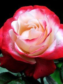 Rosa Nostalgie stamroos 80-90 cm (wit met rode roos op stam, stammrose, standard rose)