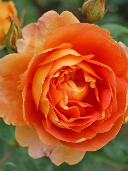 Rosa Pat Austin stamroos 100-110 cm (kopergele oranje roos op stam, stammrose, standard rose)