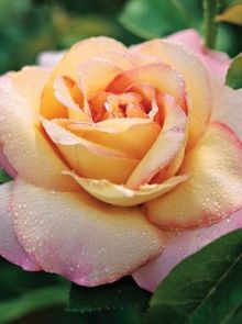 Rosa Peace stamroos 80-100 cm (licht gele met roze roos op stam, stammrose, standard rose)