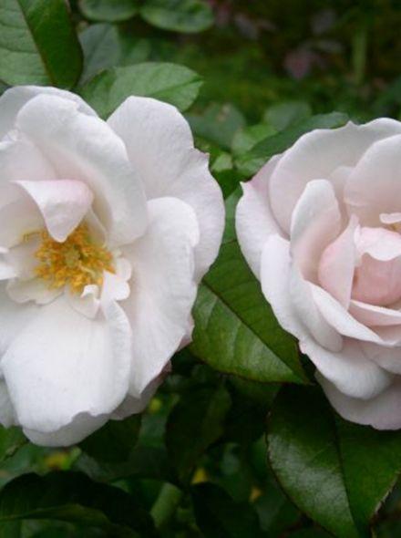 Rosa Pearl Drift Stamroos 90-100 cm (parelmoer-witte roos op stam, stammrose, standard rose)