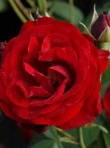 Rosa Pussta stamroos 90-100 cm (donkerrode roos op stam, Dunkelrot stammrose, dark red standard rose)
