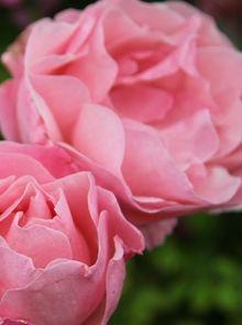 Rosa Queen Elizabeth stamroos 110 cm (helderroze roos op stam, rosa stammrose, pink standard rose)