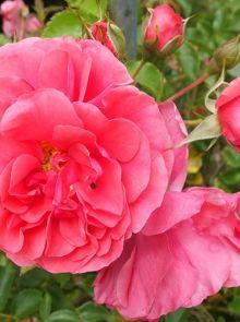 Rosa Rosarium Uetersen stamroos 110 cm (dieproze treurroos op stam, stammrose, standard rose)